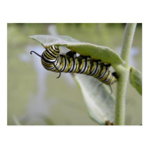 Yellow swallow tail butterfly caterpillar postcard