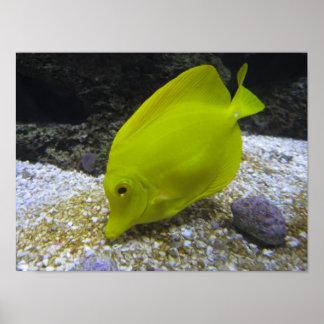 Yellow Tang Photo Poster