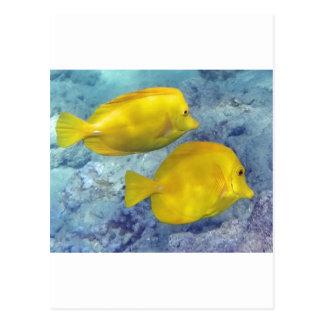 Yellow Tangs Postcard