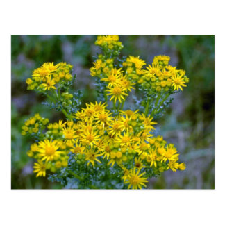 Yellow Tansy flowers Postcard