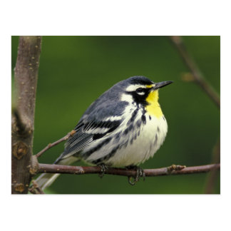 Yellow-throated Warbler (Dendroica dominica) Postcard