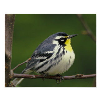 Yellow-throated Warbler (Dendroica dominica) Poster