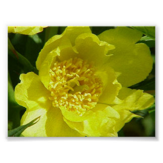 Yellow Tree Peony (Paeonia Lutea) Print