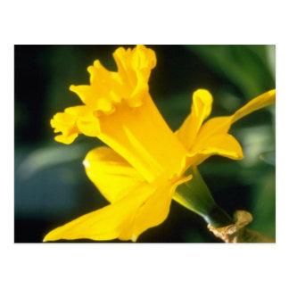 yellow Trumpet Narcissi, 'Explorer' flowers Postcard