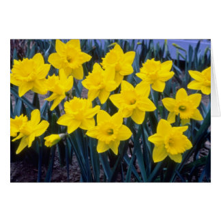 yellow Trumpet Narcissi, 'King Alfred' flowers Cards