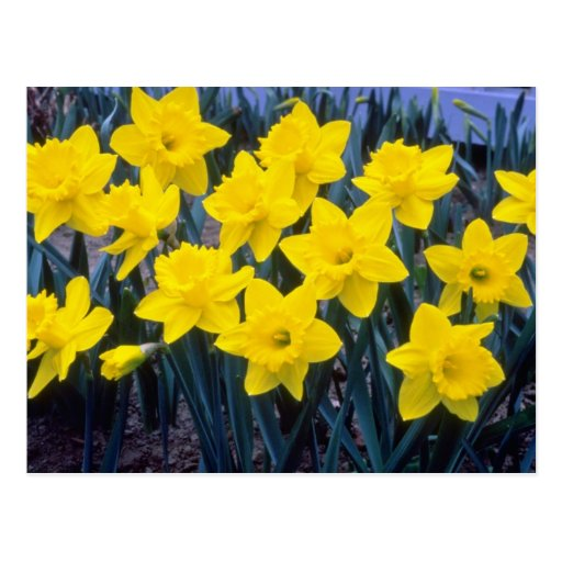yellow Trumpet Narcissi, 'King Alfred' flowers Postcard