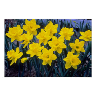 yellow Trumpet Narcissi, 'King Alfred' flowers Poster