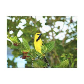 Yellow Trupial bird Canvas Print