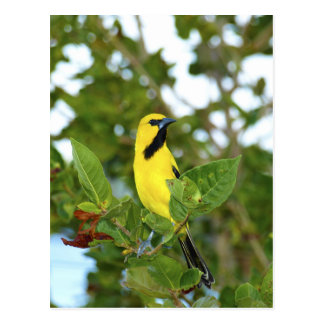 Yellow Trupial bird Postcard