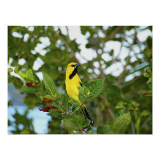 Yellow Trupial bird Poster