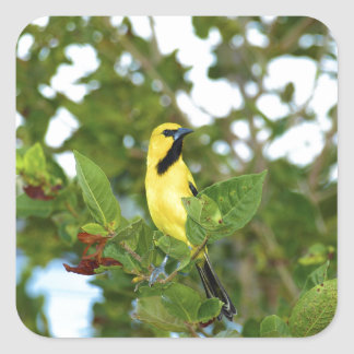 Yellow Trupial bird Square Sticker