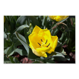 Yellow Tulip in Bloom Poster