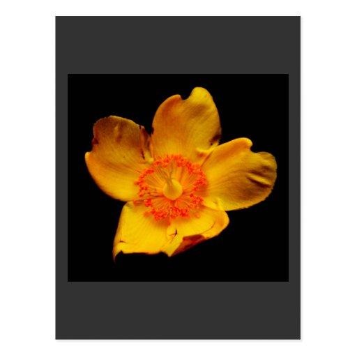 Yellow Tulip Postal