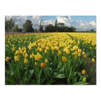 Yellow Tulips in a Field Holland Postcard