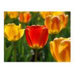 Yellow Tulips, Orange Tulips Postcard