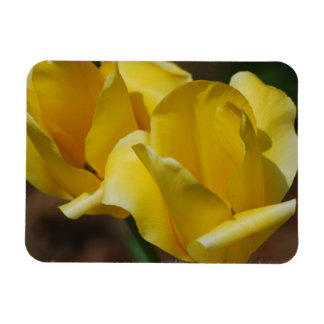 Yellow Tulips Premium Magnet