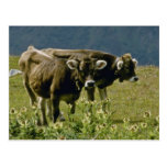 yellow Two cows flowers Postcards