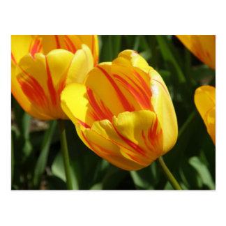 Yellow Variegated Tulip Postcard