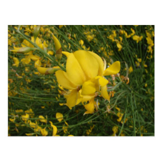 Yellow Vetchling Postcard