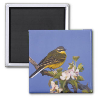 Yellow Wagtail, Motacilla flava, male on apple 2 Inch Square Magnet