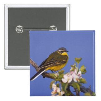 Yellow Wagtail, Motacilla flava, male on apple Pinback Button
