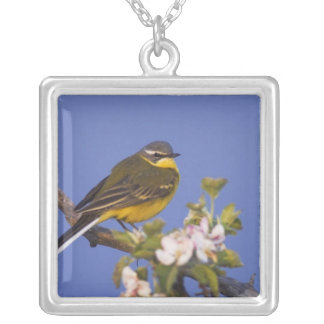 Yellow Wagtail, Motacilla flava, male on apple Square Pendant Necklace