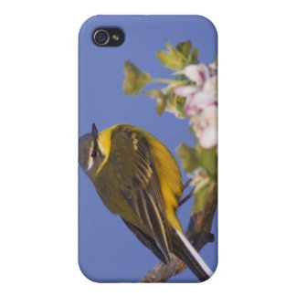 Yellow Wagtail, Motacilla flava, male on  Cases For iPhone 4