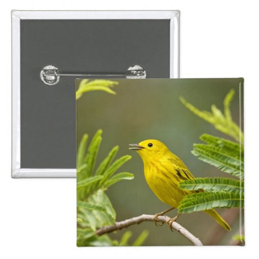 Yellow Warbler Dendroica petechia) adult 2 Buttons