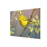 Yellow Warbler Dendroica petechia) adult 2 Canvas Prints