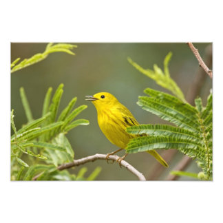 Yellow Warbler Dendroica petechia adult 2 Photograph