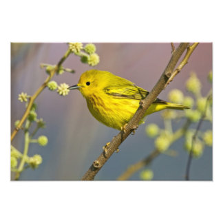 Yellow Warbler Dendroica petechia adult 2 Photographic Print