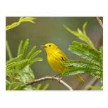Yellow Warbler Dendroica petechia) adult 2 Postcard