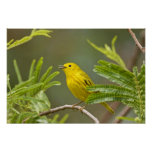 Yellow Warbler Dendroica petechia) adult 2 Posters