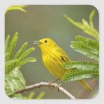 Yellow Warbler Dendroica petechia) adult 2 Square Sticker