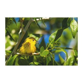 Yellow Warbler In Tree Near Augusta, Montana Canvas Print