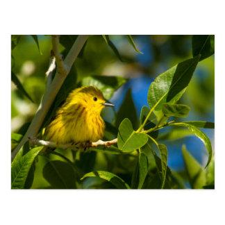 Yellow Warbler In Tree Near Augusta, Montana Postcard