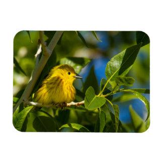 Yellow Warbler In Tree Near Augusta, Montana Magnet