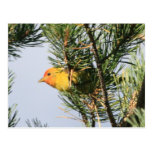 Yellow Warbler Post Card
