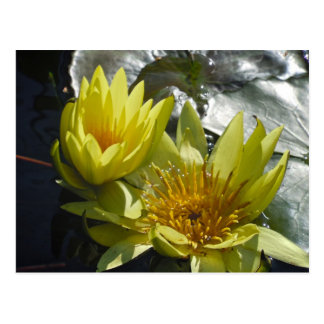Yellow Water Lilies Postcard