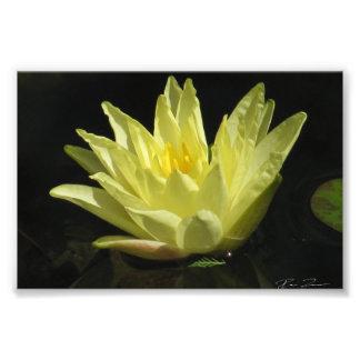 Yellow Water Lily Photo Art