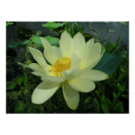 Yellow Water Lily Poster Print