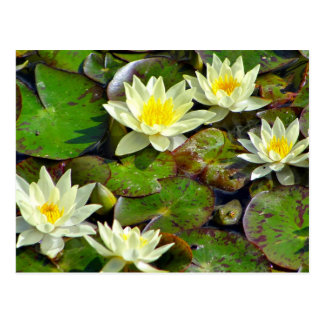 Yellow Waterlilies Postcard