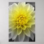 Yellow White Dahlia Poster