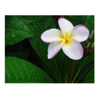 Yellow & White Hawaiian Plumeria Flower Postcard