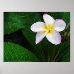 Yellow & White Hawaiian Plumeria Flower Poster
