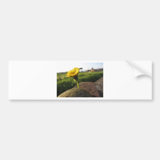 Yellow wildflower growing on stones at sunset bumper sticker