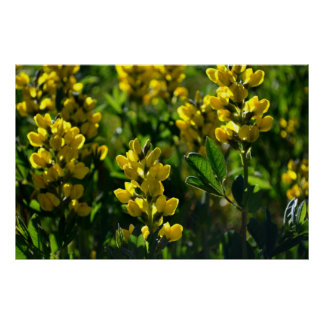 Yellow Wildflowers in the Sandia Mountains Poster