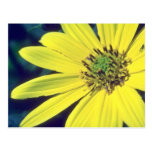 yellow Yellow Daisy flowers Post Cards