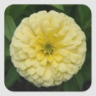 Yellow Zinnia Flower Square Stickers