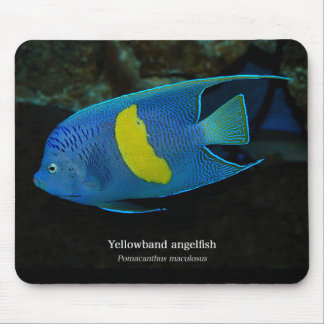 Yellowband angelfish and Pomacanthus maculosus Mouse Pad